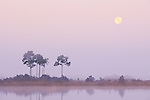Slash Pines, Everglades National Park, Florida