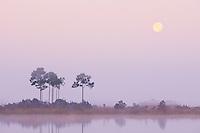 Slash Pines, Everglades National Park, Florida