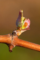 bud burst on the vine chateau pey la tour bordeaux france