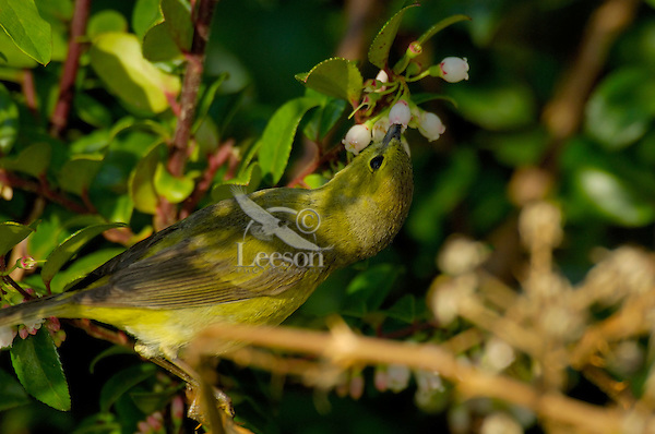 Female Yellow Warbler (Dendroica petechia).  Pacific Northwest.  Spring.