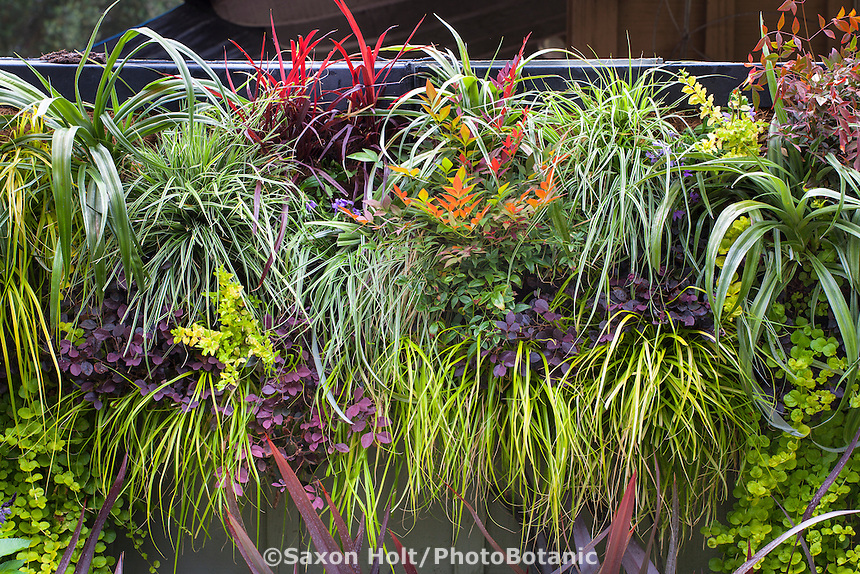 Mixed foliage plants on wall panel for vertical gardening using Carex 'Everillo', Carex 'Evergold', Astelia 'Silver Shadow', Loropetalum 'Purple Pixie', Nandina 'Obsession'; Sunset Western Garden Collection