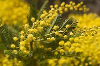 Europe/France/Provence-Alpes-Côte d'Azur/06/Alpes-Maritimes/Nice:Mimosa sur le marché  aux fleurs du Cours Saleya