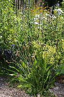 Naturgarten mit Spitz-Wegerich, Margeriten, Färberkamille, Frauenmantel und anderen Pflanzen. Spitzwegerich, Wegerich, Plantago lanceolata, English Plantain, Ribwort, narrowleaf plantain, ribwort plantain, ribleaf, le Plantain lancéolé, Plantain étroit