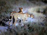Two Jaguars on the hunt at  Kenya's Serengeti National Park .Jim Bryant Photo. ©2012. All Rights Reserved.