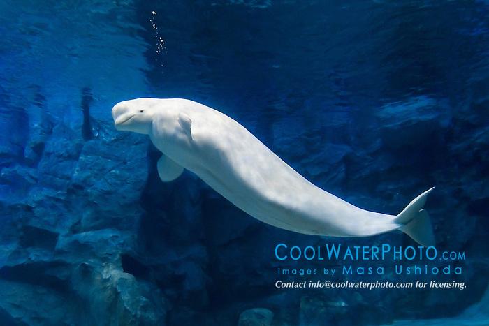 beluga whale, white whale, Delphinapterus leucas, Arctic Ocean (c)