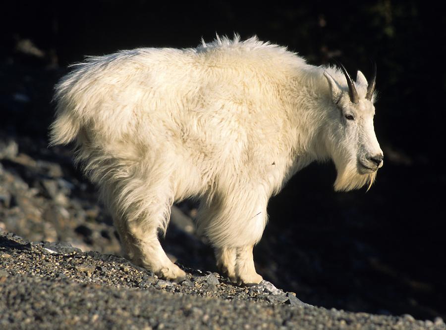 A mountain goat ((Oreamnos americanus) peers over the edge, along the Alaska Highway, Yukon Territory, Canada.
