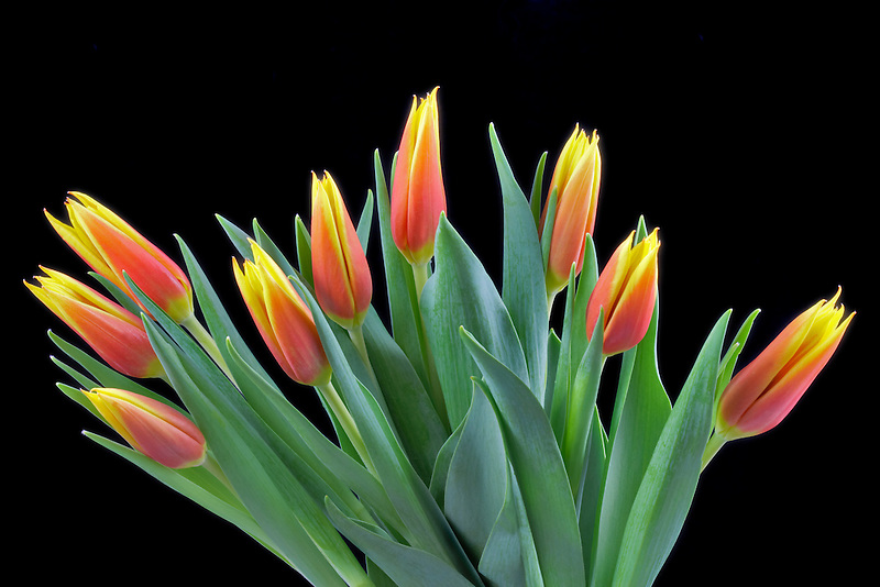 Red and yellow tulip bouquet.