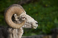 Head of an adult Bighorn Ram in profile