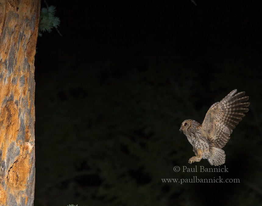 A Flammulated Owl flies to the nest cavity to deliver prey to his young.