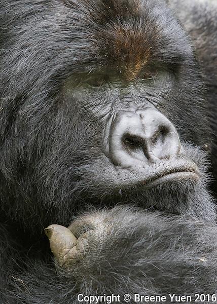 Gorilla Silverback Frown2 Rwanda 2015