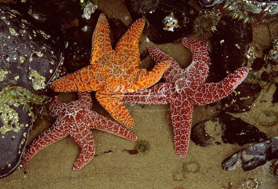 Three starfishes in tidal pool, Cannon Beach Oregon .