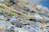 Juvenile White-tailed Ptarmigan (White-tailed Ptarmigan) roosting amongst stones on a mountaintop. Central Cascades, Washington. September.