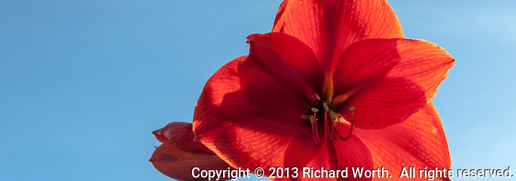 A backlit Amaryllis flower glows against a blue sky background.  Cropped to 88X31 aspect ratio with room for text.