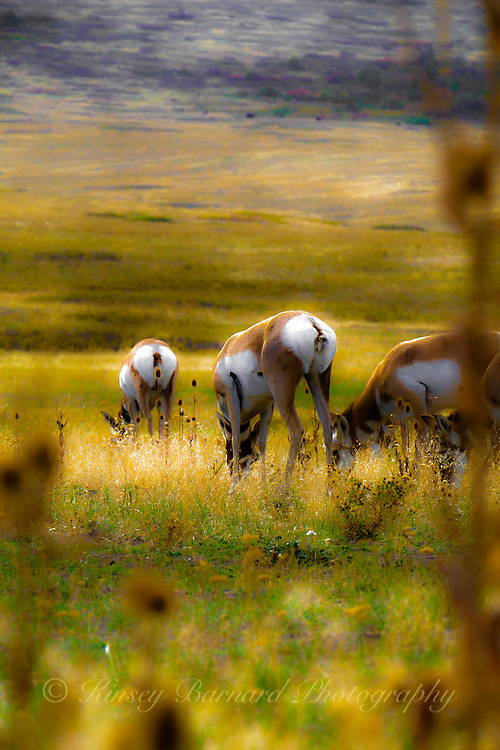 Female antelope aka pronghorn grazing on the National Bison Range in Montana