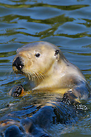 Sea Otter (Enhydra lutris)--I believe this is an adult male.
