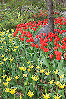 Garvin Gardens in Hot Springs, Arkansas, comes alive with colorful tulips, daffodils, hyacinth and other spring bloomers in early March.