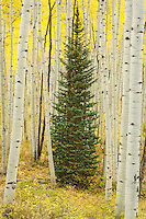 Above the town of ski town of Crested Butte, Colorado is Kebler Pass which takes one through huge expanses of aspen tree groves. A lone pine tree is making a stand among a forest of aspen trees.