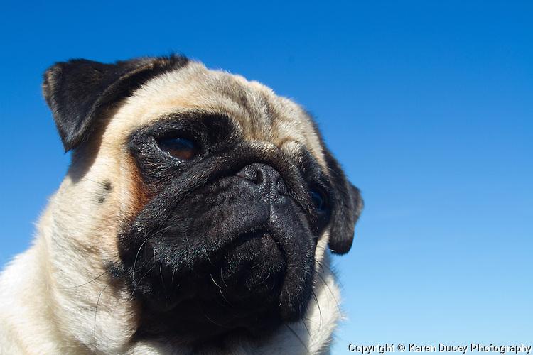 A pug dog face against a blue sky. (photo © karenducey.com)