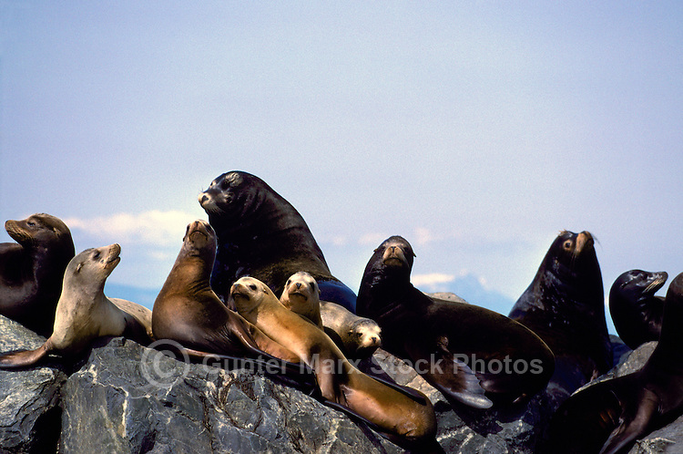 California Sea Lions (Zalophus californianus) basking on Rocks in Sun, Mouth of Fraser River, Richmond, BC, British Columbia, Canada