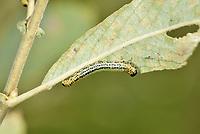 Willow Sawfly - Craesus septentrionalis<br /> larva