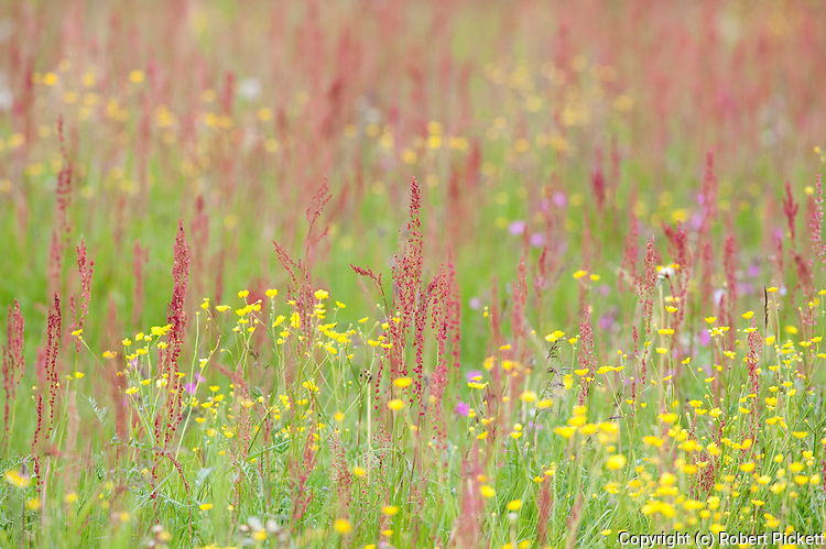 Meadow flowers and grasses, Kuhmo, Finland, Lentiira, Vartius near Russian Border, colourful