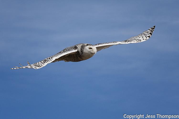 Snowy Owl, Odessa Texas