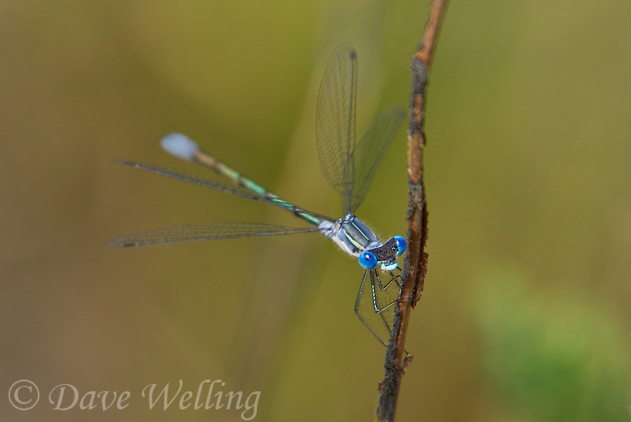 390100001 a wild male northern spreadwing damselfly lestes disjunctus perches on a plant stem near a high alpine pond in yosemite national park california united states
