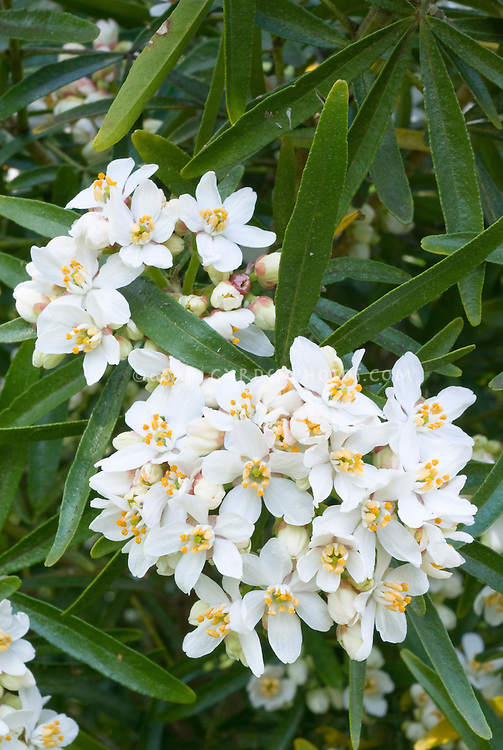 Choisya aztec pearl in white flowers plant flower stock choisya ternat aztec pearl shrub in white flowers in spring april flowering shrub mightylinksfo Images