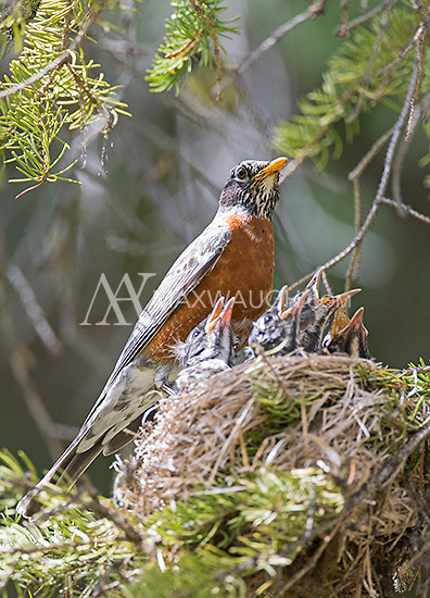 The American robin is a common songbird seen in Yellowstone in spring and summer.  This one had a nest at our cabin.