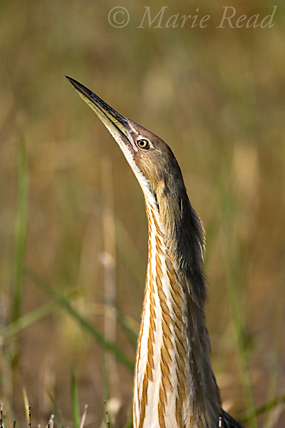 American Bittern (Botaurus lentiginosus), close-up, Montezuma National Wildlife Refuge, New York, USA.