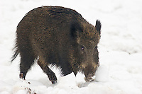 Germany, DEU, Arnsberg, 2005-Mar-07: A wild boar (sus scrofa) in the snowy Wildwald Vosswinkel preserve.