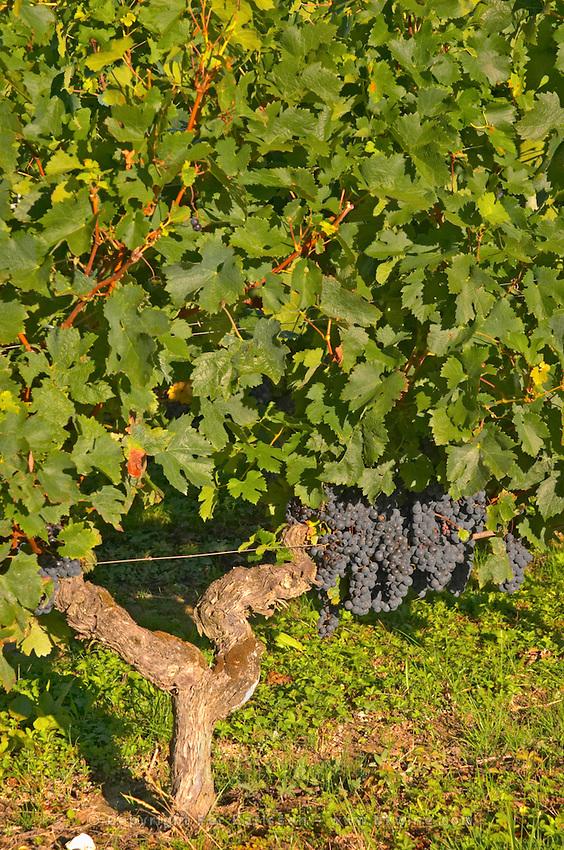 Ripe bunches of Merlot grapes in the vineyard  - Chateau Carignan, Premieres Cotes de Bordeaux