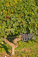 Ripe bunches of Merlot grapes in the vineyard  - Chateau Carignan, Premieres Cotes de Bordeaux