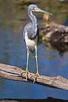 USA, Florida, Everglades NP, Tricolor Heron (Egretta tricolor)