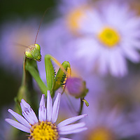 Praying mantis 02