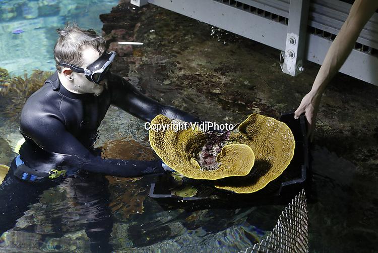 Foto: VidiPhoto<br /> <br /> ARNHEM – Biologen en dierverzorgers van Burgers' Ocean in Arnhem bereikten woensdag een historische mijlpaal: meer dan 300 zelf gekweekte koralen, zeeanemonen en koraalvissen werden 'geoogst', ingepakt en naar Engeland verstuurd. Burgers' Zoo schenkt alle dieren uit eigen kweek aan London Aquarium en Chester Zoo. Dankzij het Arnhemse kweeksucces is het tropisch koraalrifaquarium van Burgers' Zoo al jaren hofleverancier van koralen aan Europese collega-aquaria. Het Londense koraalrif wordt dankzij het transport van woensdag 23 januari 2019 opgebouwd met 170 steenkoralen en 90 zachte koralen die in Arnhem gekweekt zijn. Meer dan negentig procent van de koralen zijn geoogst van het levende koraalrif voor de schermen van Burgers' Ocean. De overige tien procent zijn achter de schermen van de Ocean gekweekt. Burgers' Ocean is een tropisch koraalrifaquarium van 8 miljoen liter water. Een zeer belangrijk onderdeel van het Arnhemse aquarium is het levende koraalrif in een bassin van 750.000 liter water. Dit Arnhemse levende koraalrif is het grootste van alle publieksaquaria in Europa. Wereldwijd bestaat er slechts één levend koraalrif in aquaria dat groter is (Townsville, Australië).