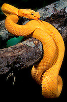 489184013 a captie brilliant yellow eyelash viper bothreichis schlegalii lays coiled on a tree limb sensing the environment with its tongue - species is native to southern mexico central america and south america