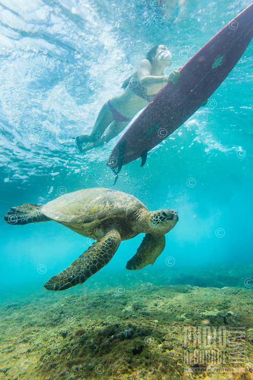 A resident green sea turtle glides through the water as a surfer girl duck dives a wave at Rocky Point, North Shore, O'ahu.