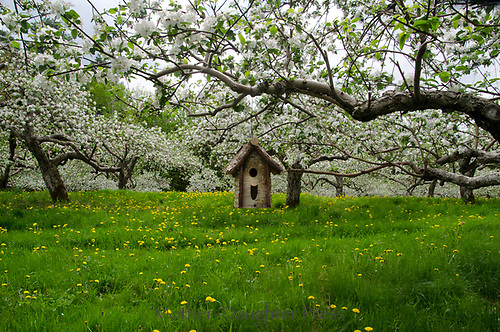 Birdhouse hangs from apple tree in blooming orchard, Hansel's orchard, North Yarmouth Maine, USA