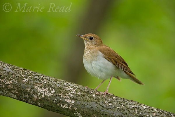 Veery (Catharus fuscescens) Danby, New York, USA