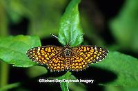 03374-00108 Elada Checkerspot butterfly (Texola elada) Hidalgo Co.  TX