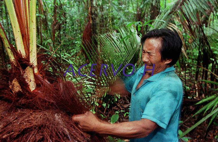 """ÕndioArmando Garrido Werekena, morador da comunidade de Anamoim no alto rio XiÈ,corta a piaçava.<br /> <br /> Índios Werekena da comunidade de Anamoim no alto rio XiÈ, trabalham com a piaçava (LeopoldÌnia pÌassaba Wall). <br /> A  árvore normalmente aloja os mais variados tipos de insetos representando um grande risco aos Ìndios durante sua coleta . A<br />  fibra  um dos principais produtos geradores de renda na regi""""o È  coletada de forma rudimentar. AtÈ hoje È utilizada na fabricaÁ""""o de cordas para embarcaÁıes, chapÈus, artesanato e principalmente vassouras, que s""""o vendidas em v·rias regiıes do paÌs.<br /> Alto rio XiÈ, fronteira do Brasil com a Venezuela a cerca de 1.000Km oeste de Manaus.<br /> 06/06/2002.<br /> ©Foto: Paulo Santos/Interfoto<br /> Negativo Cor N∫ 8328 T3 F14a"""