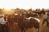 USA, Wyoming, Encampment, wranglers gather horses for guests at a dude ranch, Abara Ranch