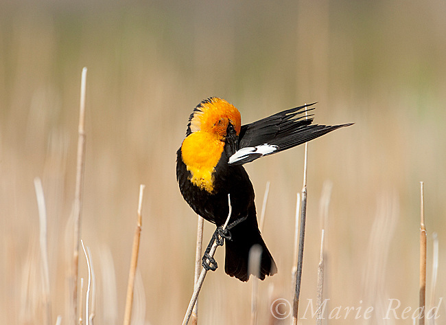 Yellow-headed Blackbird (Xanthocephalus xanthocephalus) male in breeding plumage, preening its wing, Mono Lake Basin, California, USA