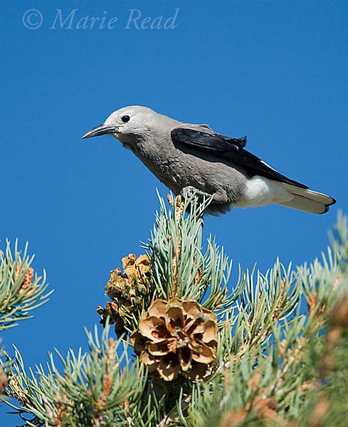 Clarks' Nutcracker (Nucifraga columbiana), perched on PInyon Pine, Mono Lake Basin, California, USA