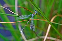 Gemeine Binsenjungfer, Lestes sponsa, emerald damselfly, common spreadwing, le Leste fiancé