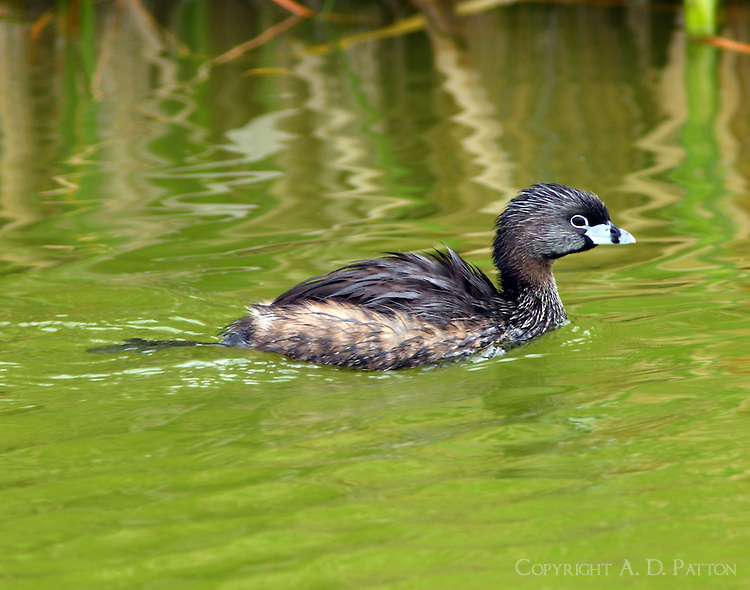 Pied-billed grebe in breeding plumage