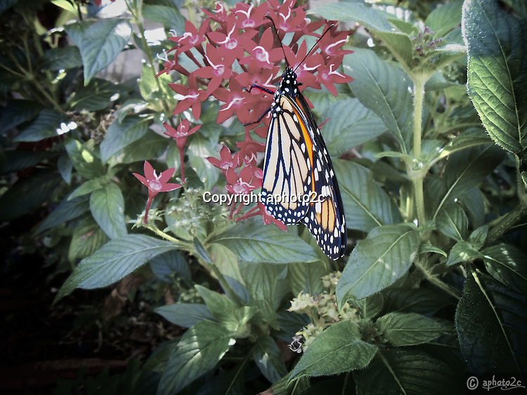 Life cycle of a Monarch Butterfly. Natures amazing life cycle.