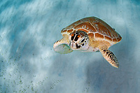 green sea turtle, Chelonia mydas, swims in the shallows of the blue water in Palawan, Philippines, Indo-Pacific Ocean