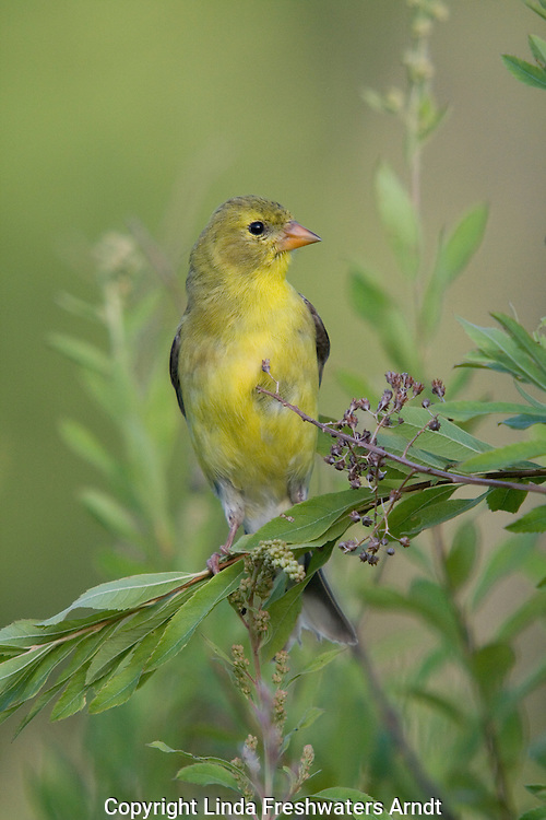 Female American goldfinch (Carduelis tristis) perched on a branch